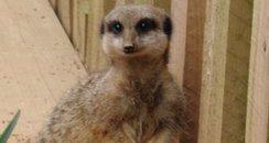 Rogan & Gibby Meerkat