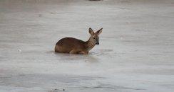 rescued deer 4