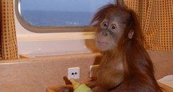 Silvestre the orang-utan