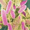 E-coli in colour