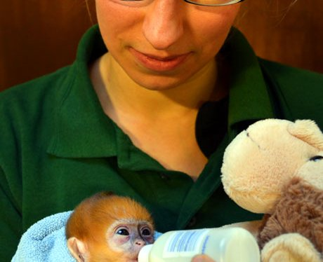 Baby monkey at London Zoo