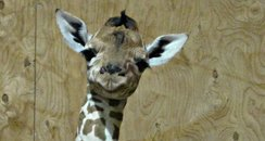 Baby giraffe at Noah's Ark Zoo Farm