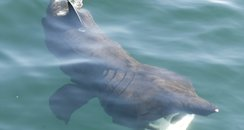 Basking Shark spotted in Cornwall
