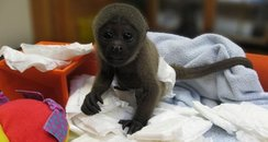 baby woolly monkey