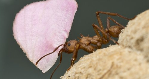 Leaf Cutter Ant in Cancer Research at UEA
