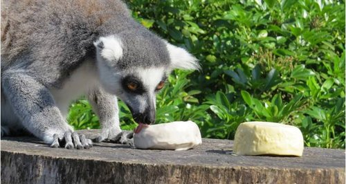 lemur eating ice cream at Marwell