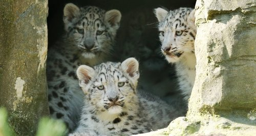 snow leopard cubs at Marwell Zoo