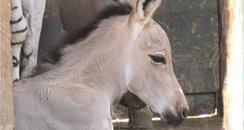 Somali Foal at Marwell Zoo