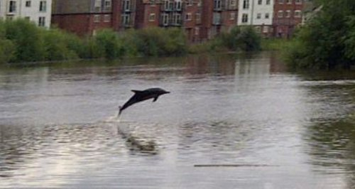 Dolphin swimming in the river Dee