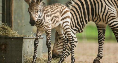 Marwell zebra Luna