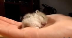 Snoring hamster