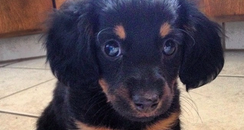 A black and brown puppy dog