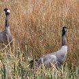 Cranes at Slimbridge WWT - picture (c) Derek Cropt