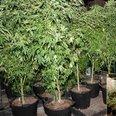 Cannabis found near Bridgwater, Somerset