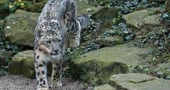 Nanga Snow Leopard Dudley Zoo
