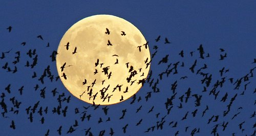 Perigee moon with birds flying past it