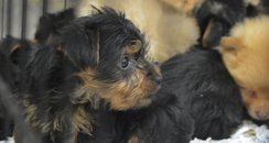 Close up of puppy rescued from illegal trade at Ho